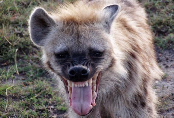 Singularidades da Hiena