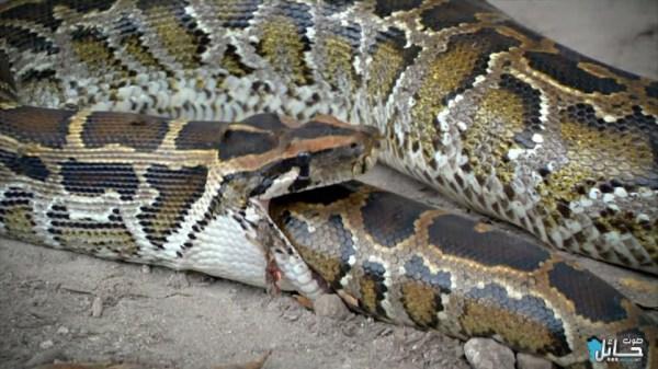 cobra-gulosa